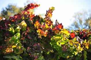 Vineyard foliage in the sun.