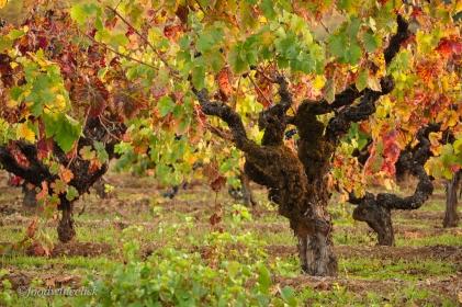 Old vine Zinfandel vineyard.