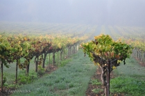 Vines in the Russian River mist.