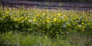 Rows of grapevines in May.