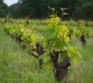 "These grapes are grown ""gobelet"" style, no trellis."