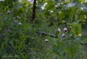 Organic vineyards encourage helpful flowers between the rows.
