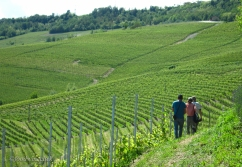 Nebbiolo grapevines as far as you can see!