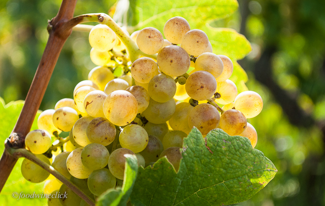 Roussanne or Marsanne grapes at the Chave vineyard on Hermitage