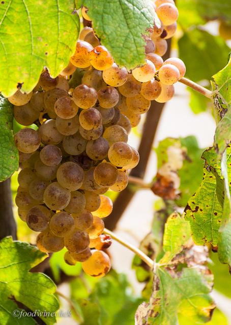 Hermitage Marsanne / Rousanne grapes darken as they ripen