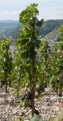 "The Syrah vines are trained ""en gobelet"""