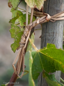 Natural straw to attach vine to stake