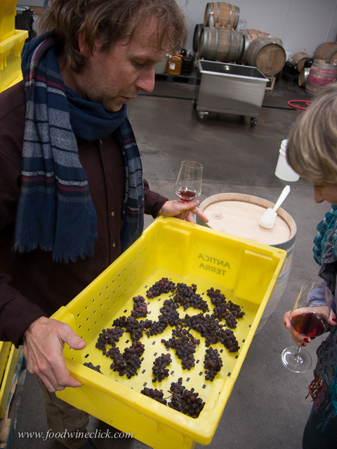 "Late harvest Gewürtztraminer grapes drying out for ""straw wine"""