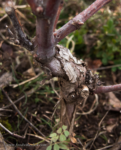 Rootstock, waiting to be grafted in the spring