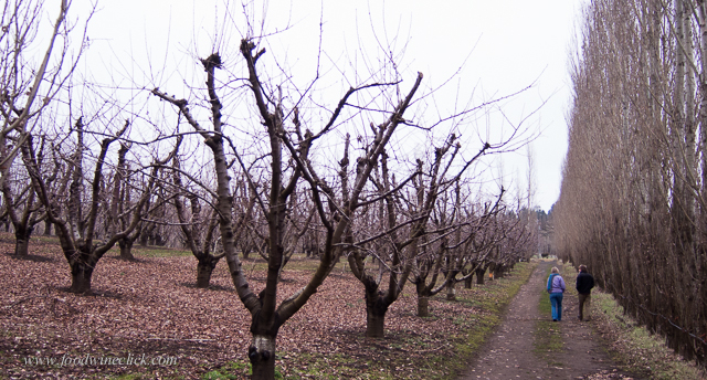 Spooky cherry trees in the winter