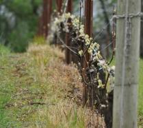Spring brings bud break and vigilance for disease.