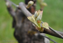 Bud break - a vulnerable time early in spring.