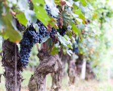 Nebbiolo grapes on the vine