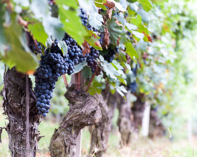 "Nebbiolo grape clusters show medium size grapes in  long clusters with ""wings"""