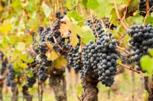 Barbera grapes are big, with thin skins - the wines have good acidity and low tannins.