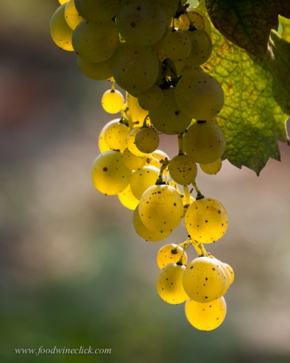 Moscato grapes ripen first
