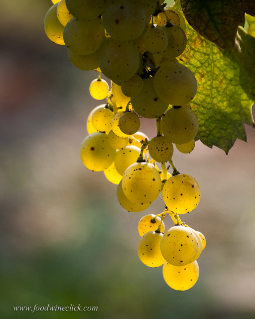 Moscato grapes - one of the few cases where the wine really does taste just like the grape.