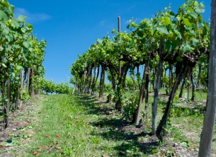 With a variety of grapes grown, we see several different trellis methods