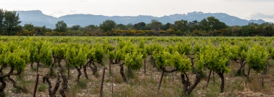 Icon to Southern Rhone fans, the Dentelles are a constant backdrop