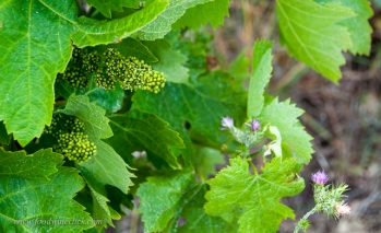 May 20, 2014 the grapevines have budded, almost ready to flower.