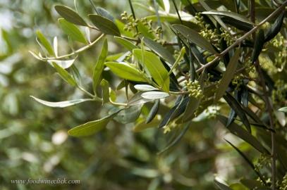 Olive trees are abundant