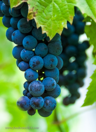 Hybrid grapes in Minnesota look like wine grapes everywhere