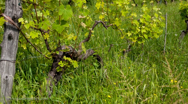 New vines can be propagated by staking a runner from the old