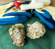 Calm Cove Oysters from the Hood Canal near Seattle