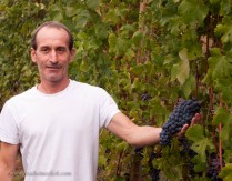 Franco holding a nearly ripe bunch of Nebbiolo grapes