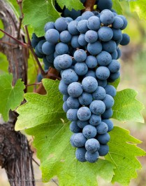 Barbera grapes, almost ripe early in October