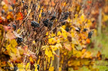 Grapes not ripe at harvest are left for the birds, and there were tens of thousands of starlings in town that morning.