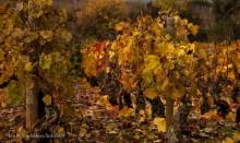 November vines in Pommard.