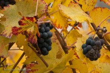 Beautiful fall colors and underripe grapes, left for the birds.