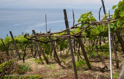 Given the proximity to the sea, the grapes are trained pergola style to allow airflow.
