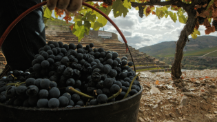 Harvest time in the Douro