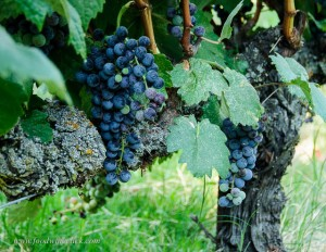 wine grapes at Mokelumne Glen Vineyards