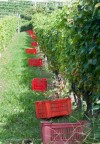 Small bins promote care of the grapes