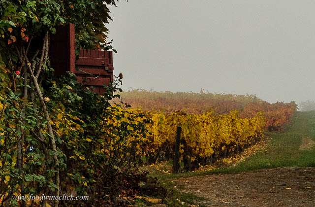 Beajolais vineyard in the fog.