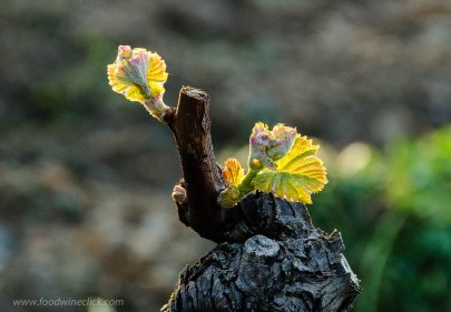 Semillon grapevine with new leaves