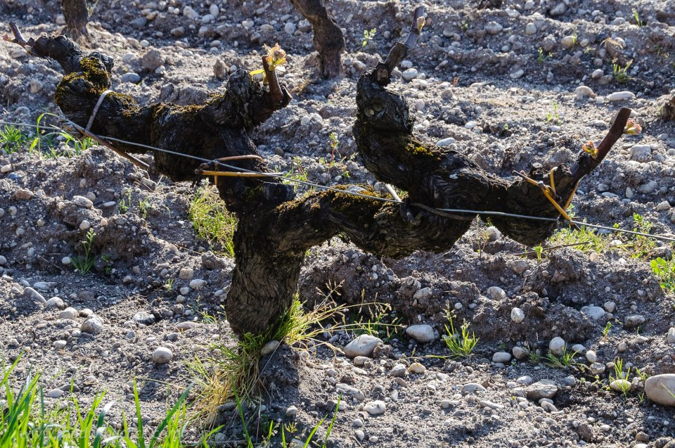 Sémillon grapevines in Sauternes: two arms with 2 branches per arm