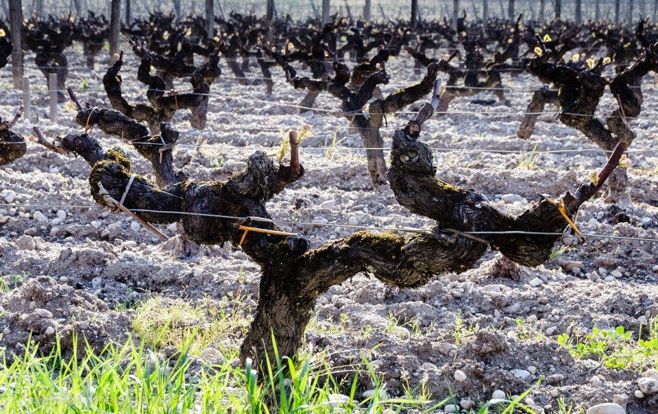 Sémillon vineyard in Sauternes