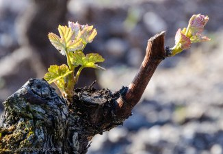 Bud break in a Sauternes vineyard