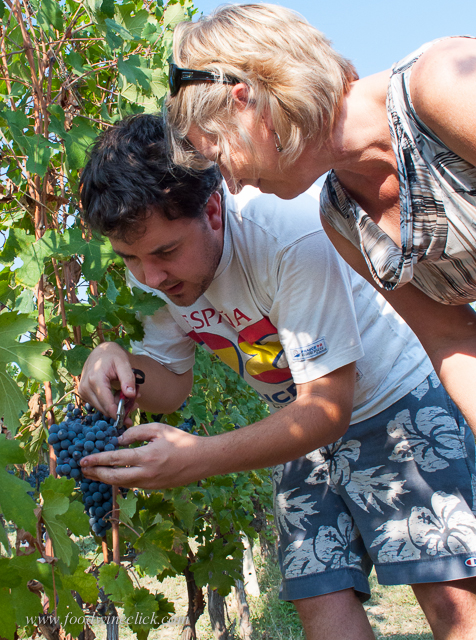 Nick Oberto of Trediberri showing vineyard techniques