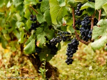Pinot Noir grapes growning in a vineyard in Volnay
