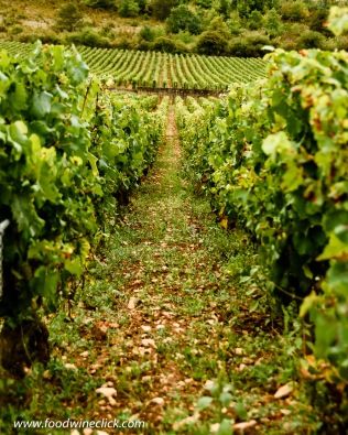 Organic vineyard management in the Montrachet vineyard in Burgundy