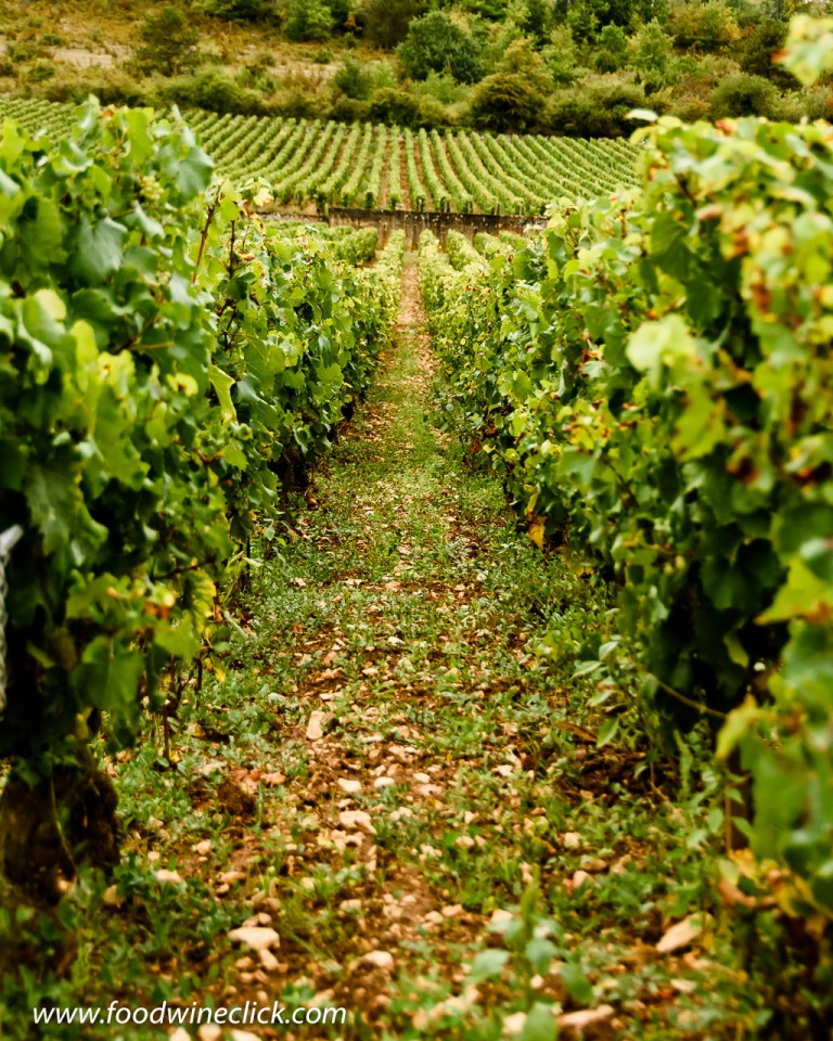 Organic vineyard management in the Montrachet vineyard in Burgundy