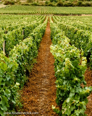 Conventional farming in the Montrachet vineyard in Burgundy