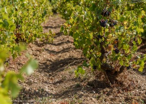 Gamay vines trained in gobelet