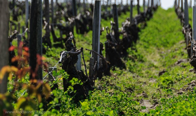 A Bordeaux vineyard in spring