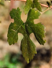Nebbiolo leaf at Castelli Vineyards in Sonoma